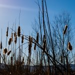 picture of cattails