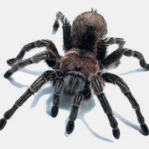 picture of tarantula